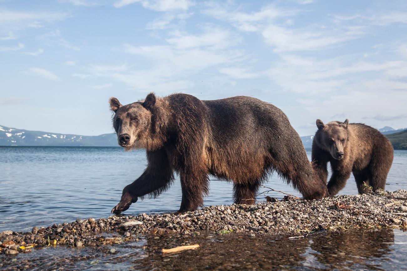 Мрки медвед(Ursus arctos beringianus), Камчатка.\n