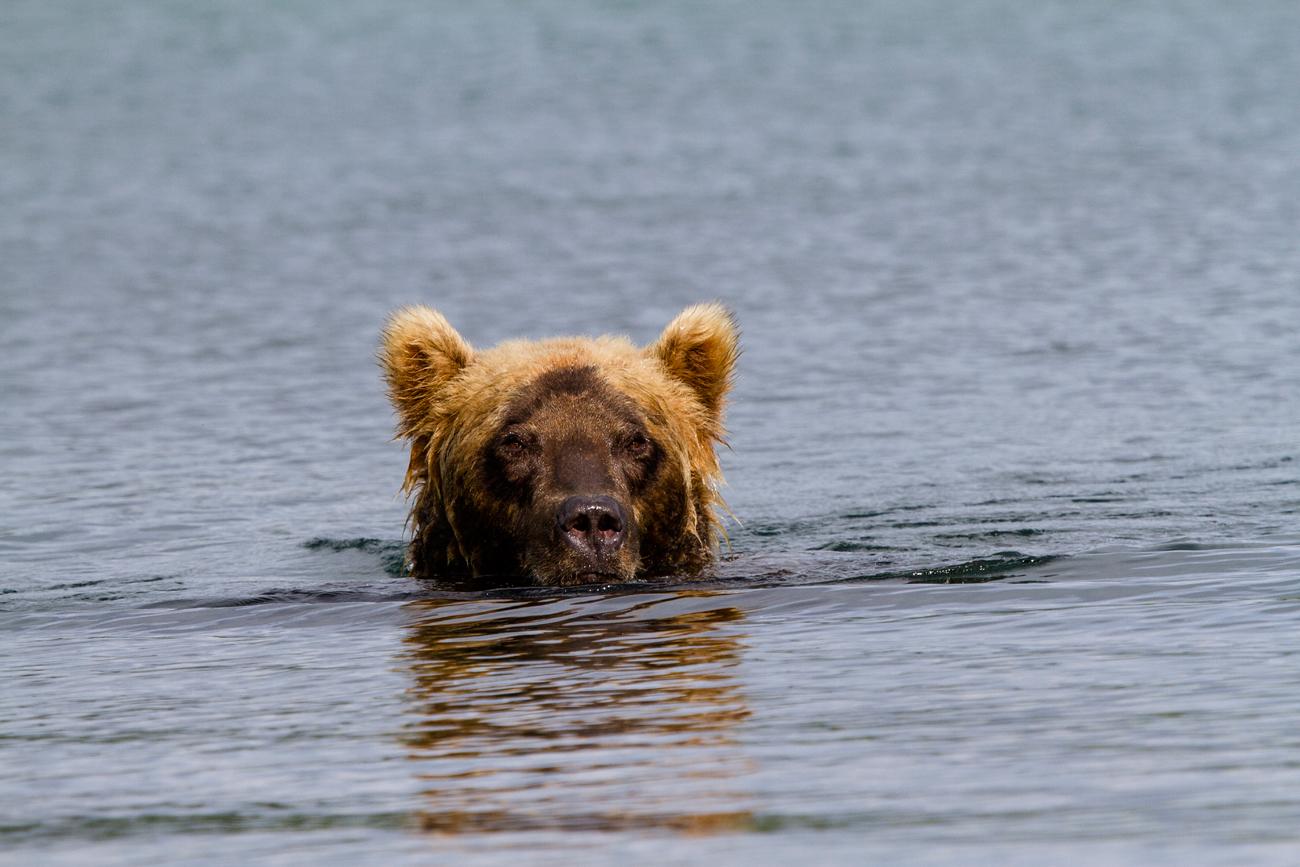 Мрки медвед, Камчатка\n