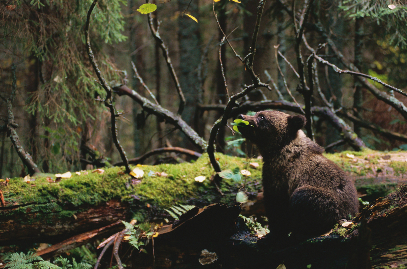 Мрки медвед\n