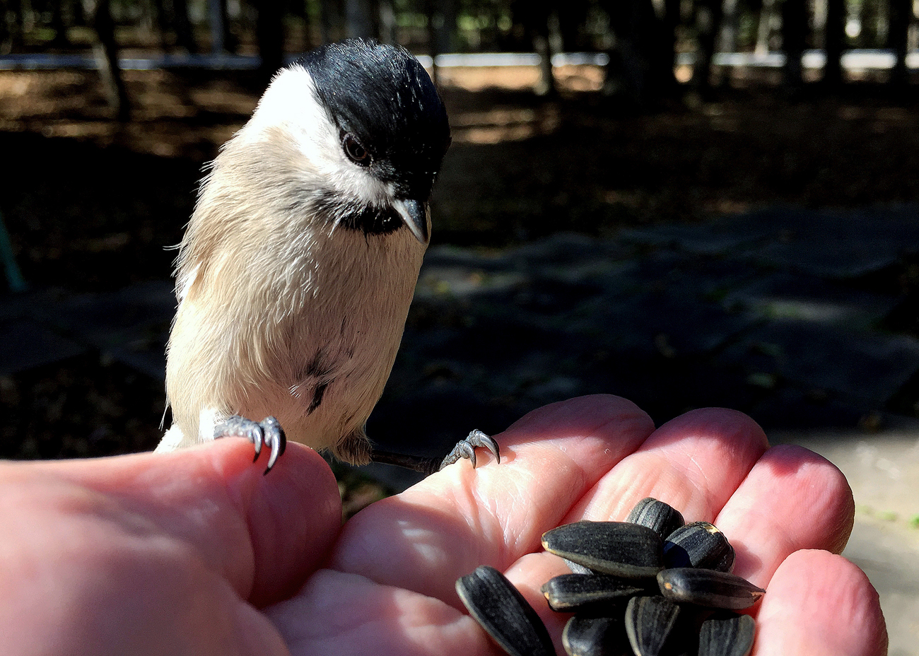 "Nuthatch on the hand in the park visitors of Vladivostok military sanatorium ""Ocean"""