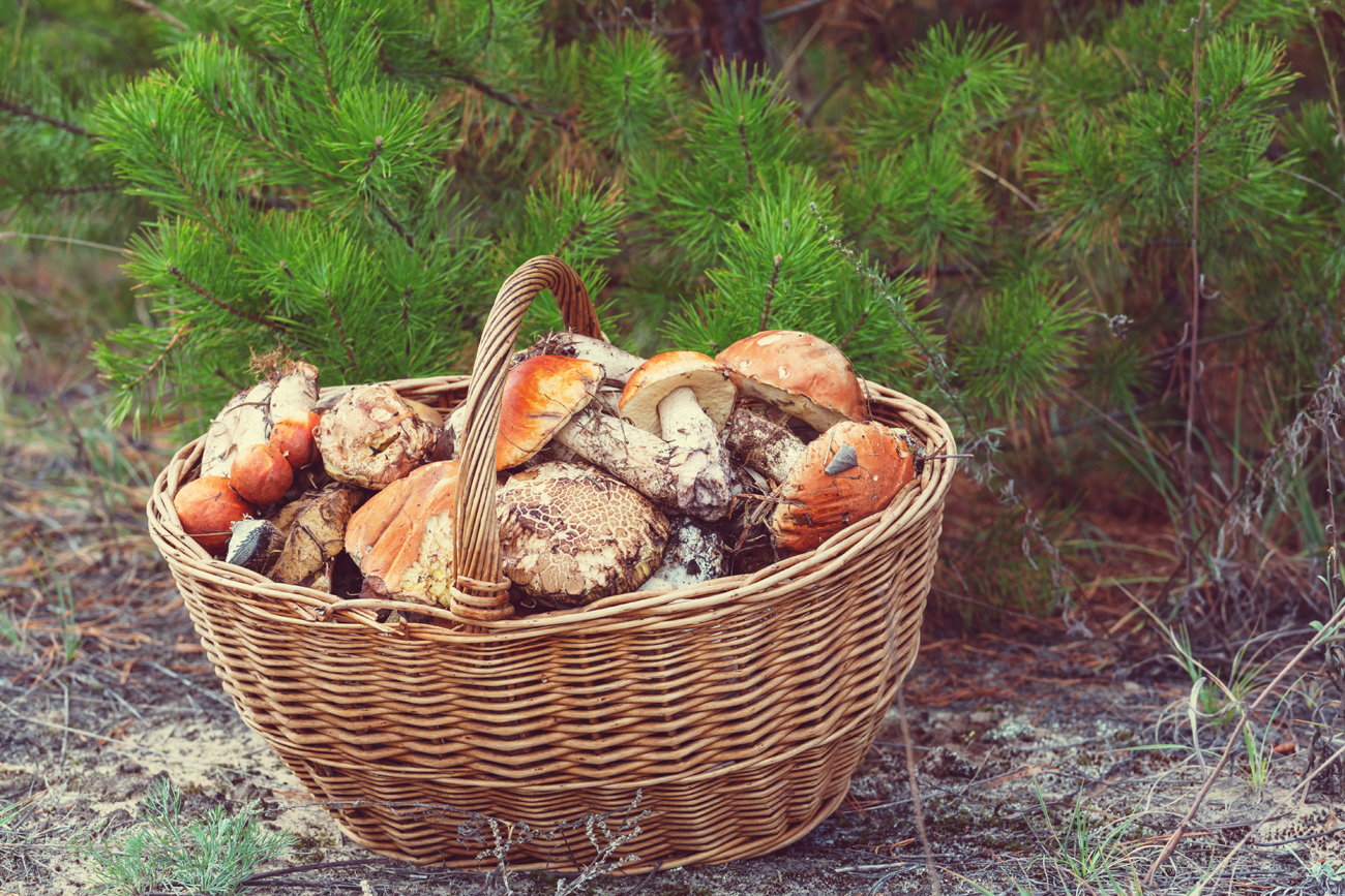 """After several hours in the woods, three friends and I return to the city with full buckets. Orange caps, penny buns, slippery jacks and birch boletes – the result is more than just decent, and it means that we will have mushroom soup for dinner."""