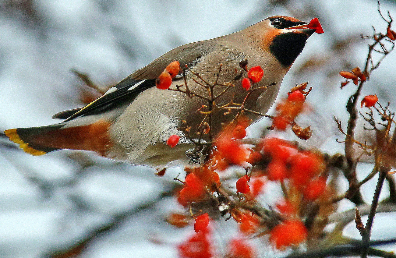 A waxwing eating rowan berries
