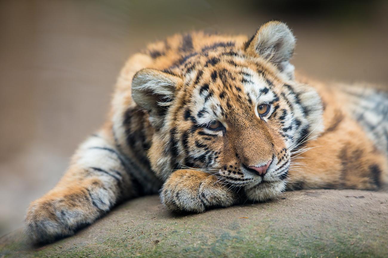 Anak harimau Rusia ditemukan berkeliaran di Vladivostok.