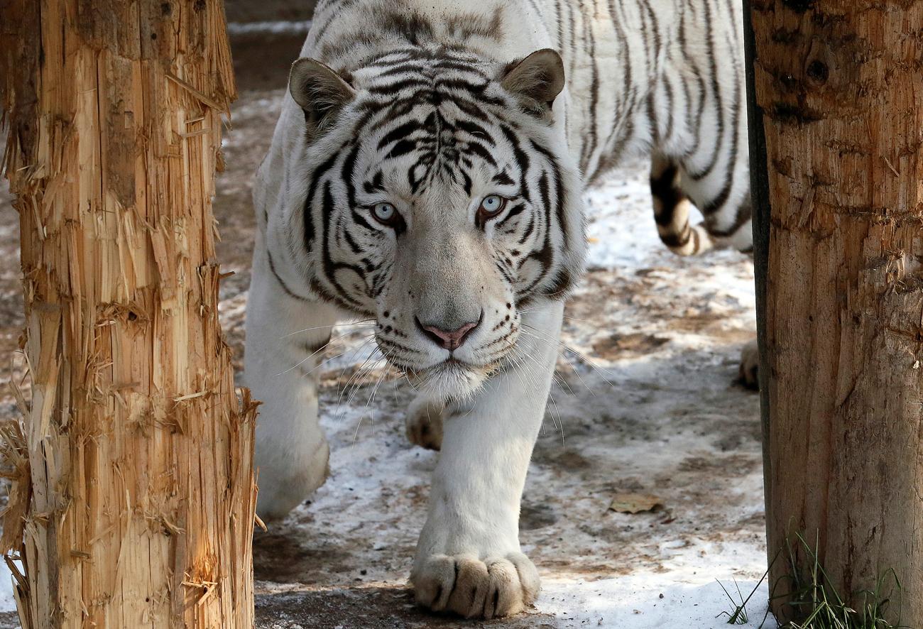 """Кан, петгодишен бел бенгалски тигар, во својот кафез во зоолошката градина """"Ројев Ручеј"""" во Краснојарск, Русија."""
