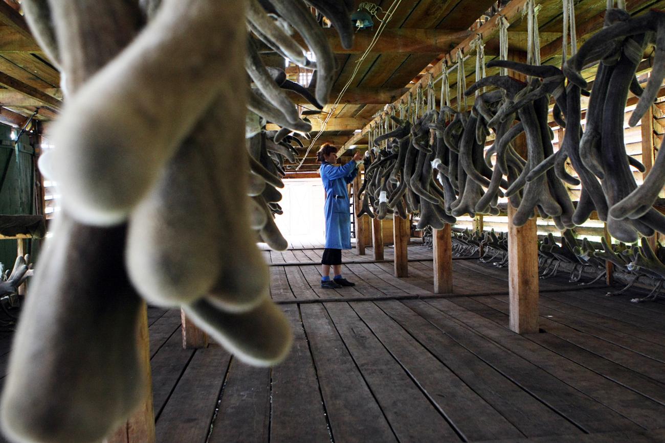 Un élevage de rennes dans l'Altaï.
