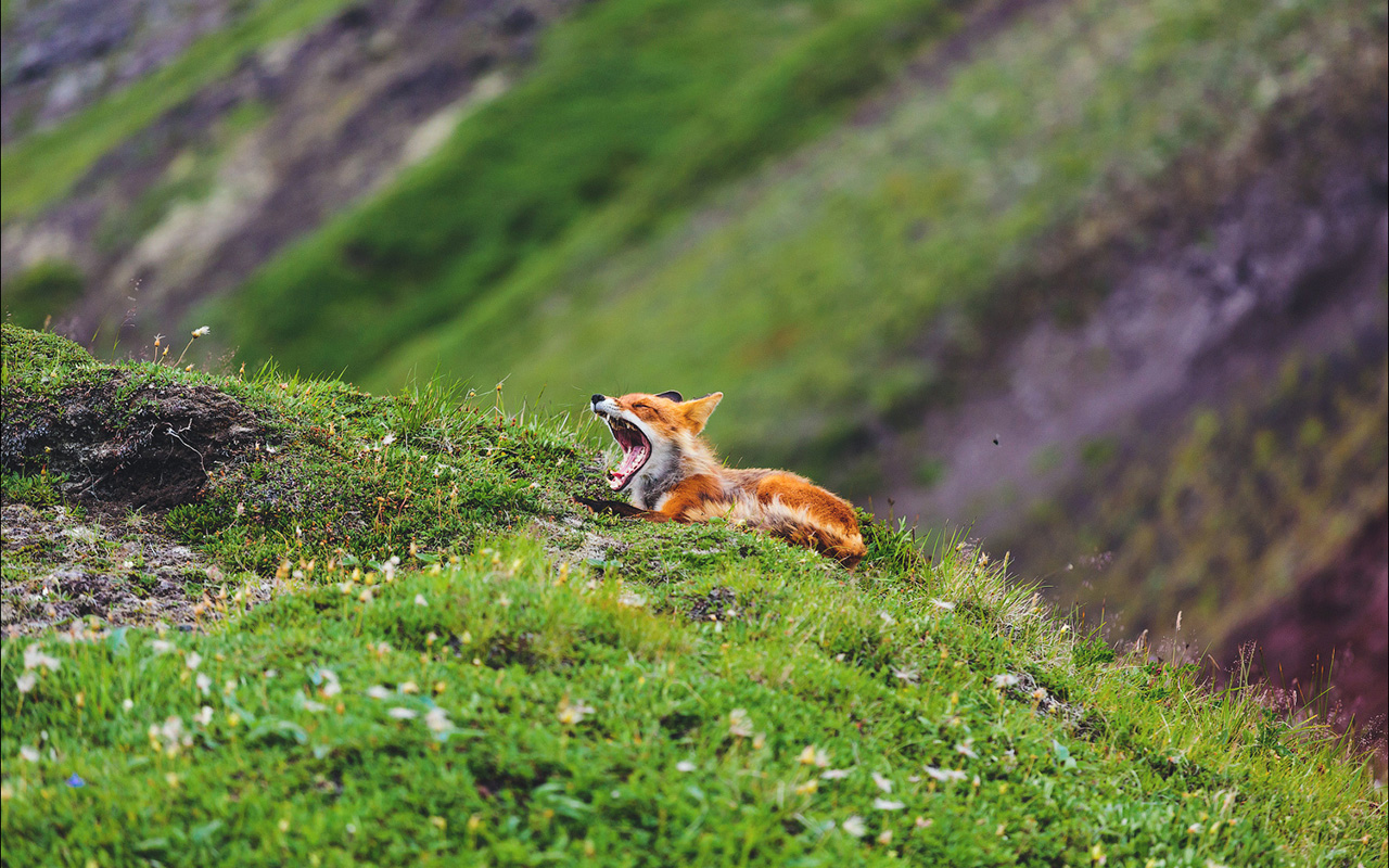 Russian photographer Alexander Sidontsev presents a series of photos taken of foxes in the Russian wilderness over several years.