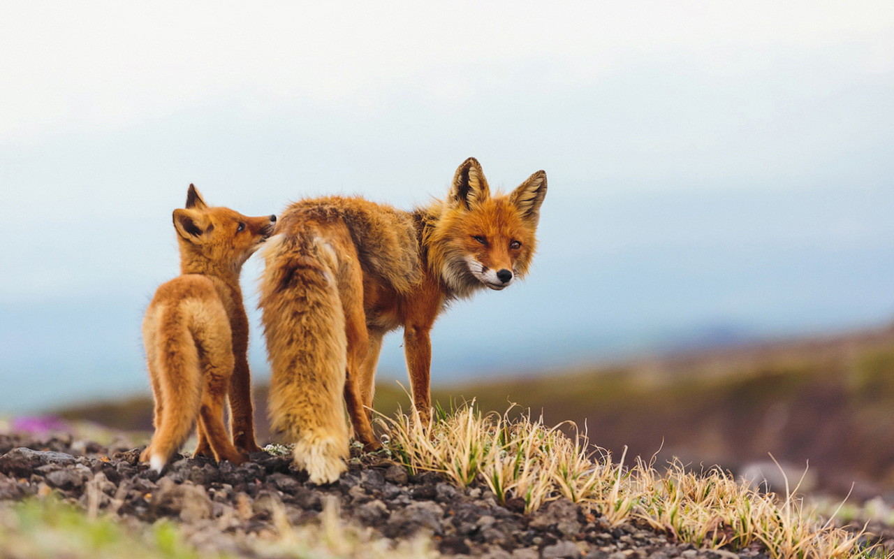 Foxes in Chukotka differ in their lighter color and larger size, which is characteristic of animals that move from south to north.