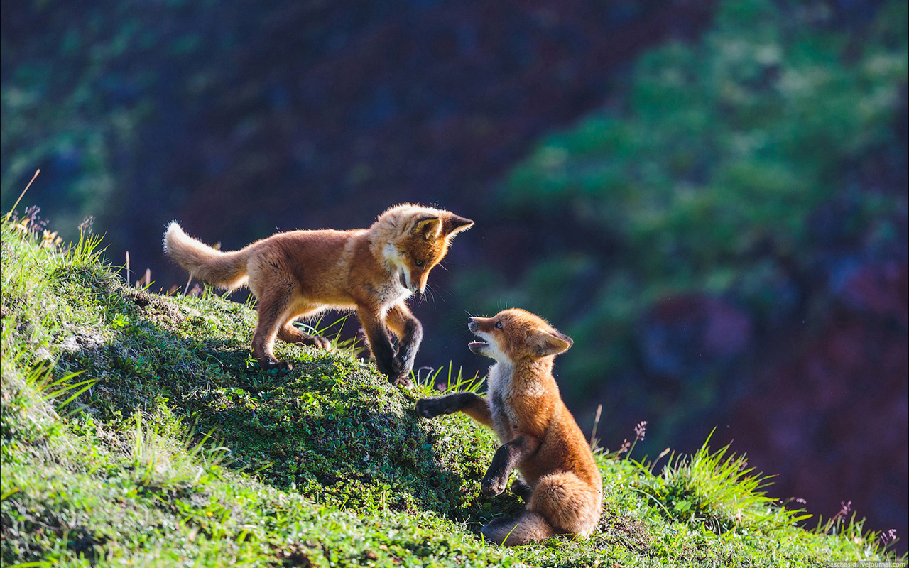 When looking for its next meal, the fox is endlessly cunning. It can play dead or intrigue its prey by its strange behavior.