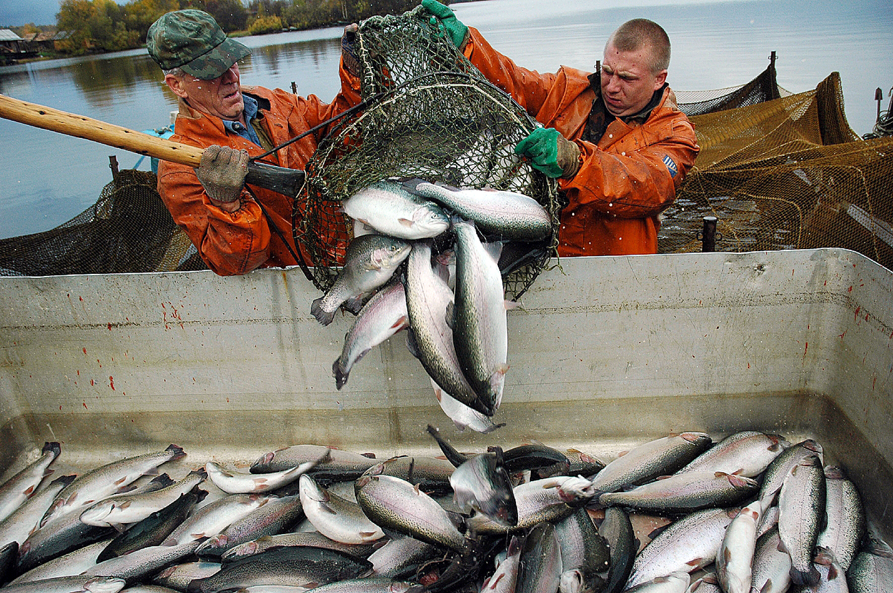 Today the Republic of Karelia produces three quarters of all the red fish in Russia, and the Karelian trout is known for its excellent quality.