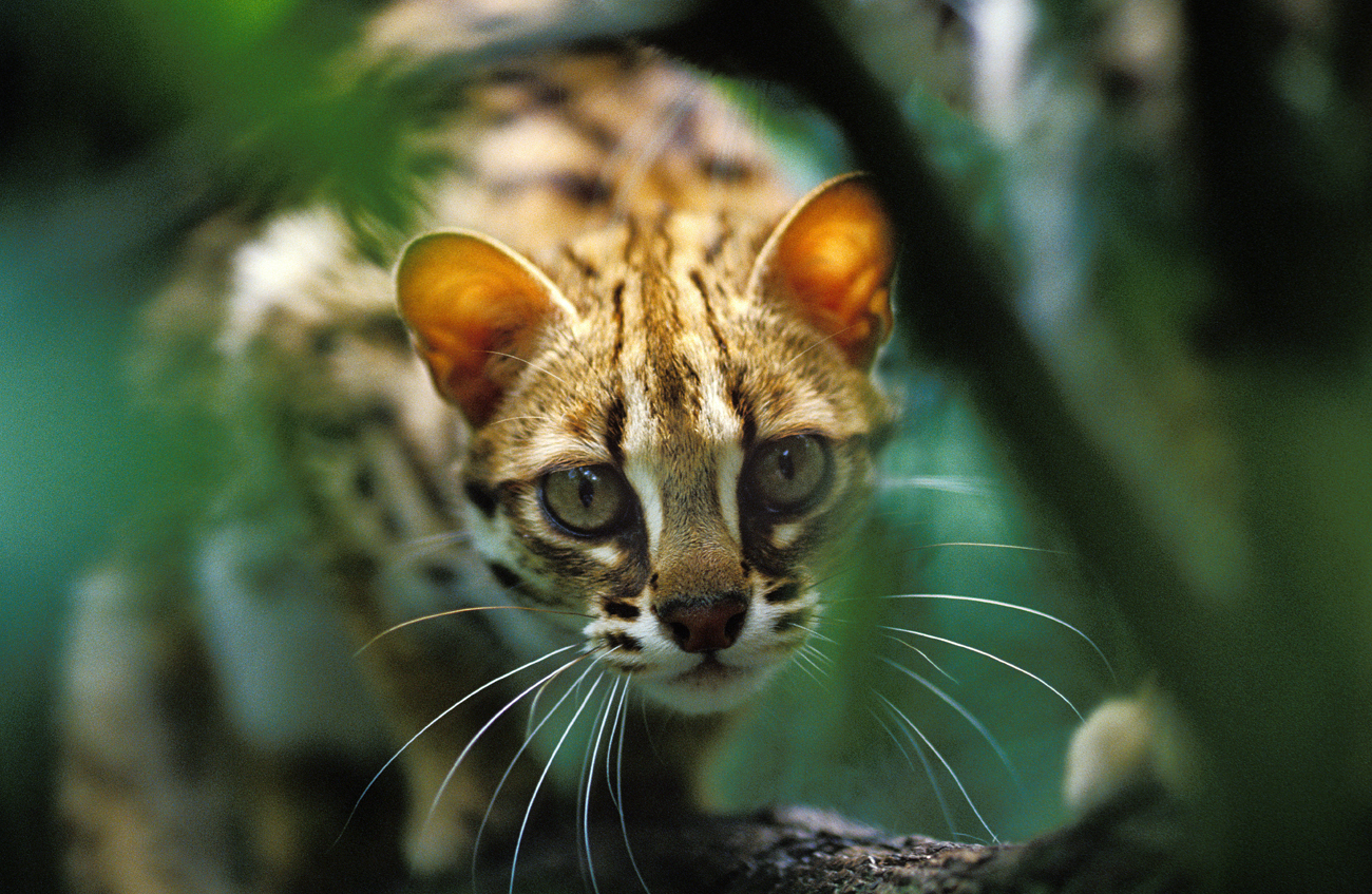 Leopard cat\n