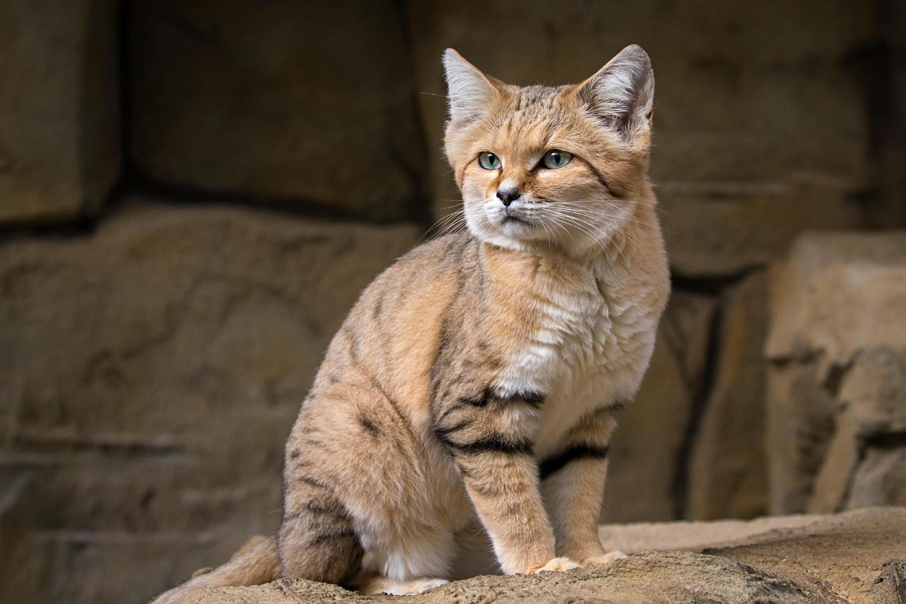 Sand cat\n