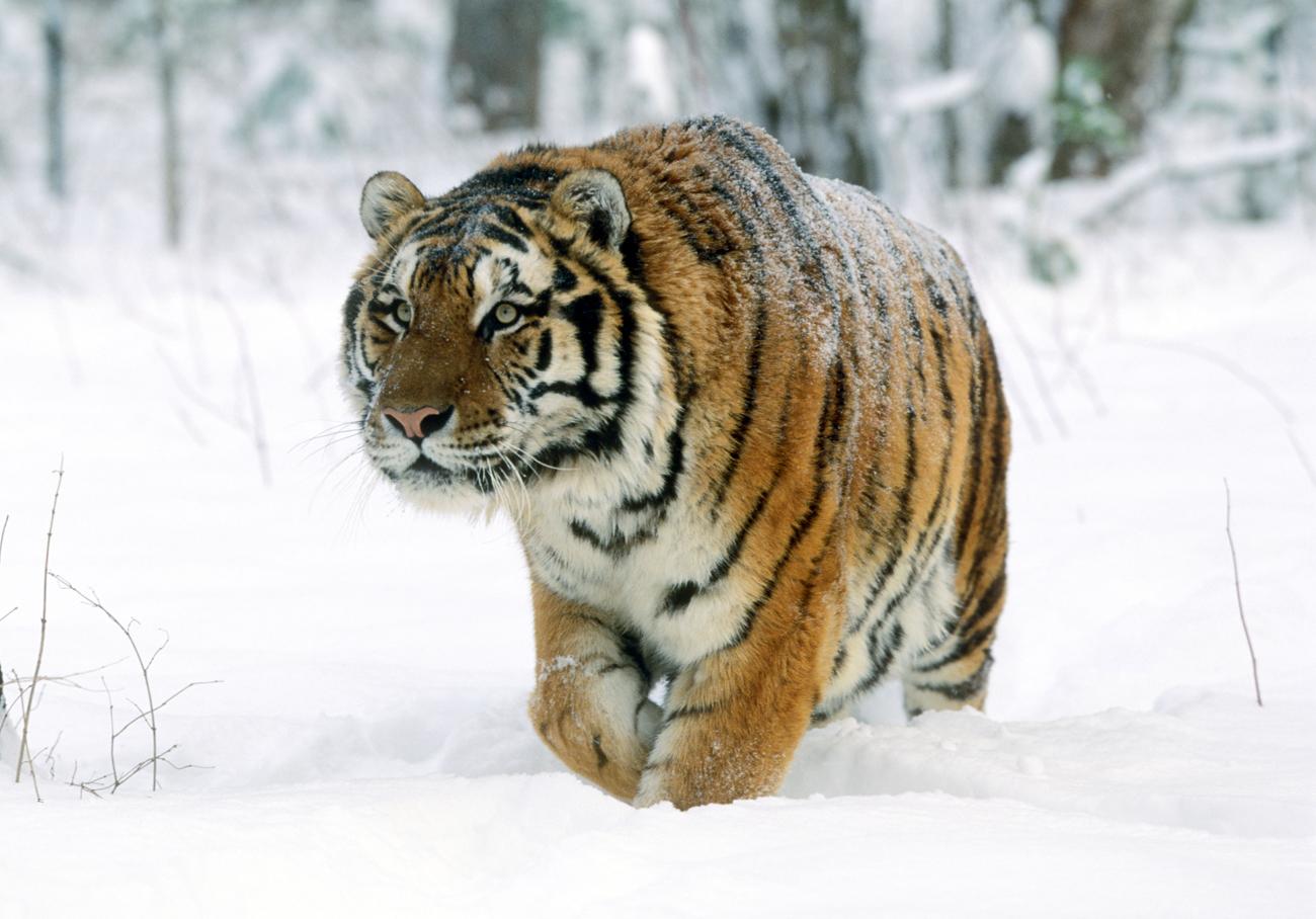 Siberian Tiger\n