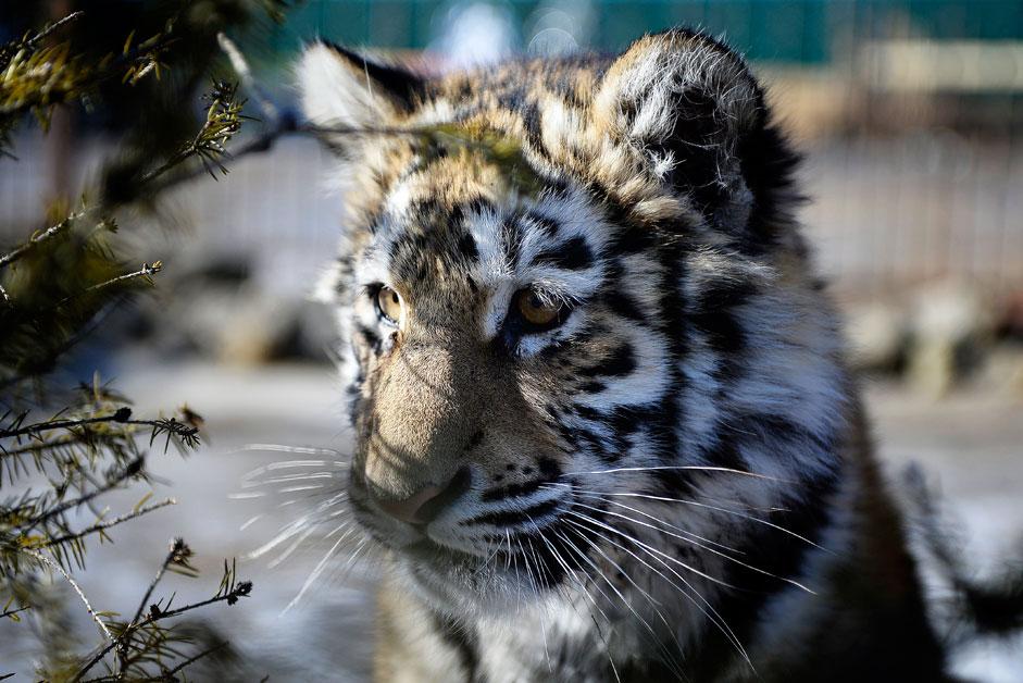 Die Tigerin Kristall ist sieben Monate alt. Sie lebt in einem privaten Zoo von Jekaterina und Juri Zotow in dem Dorf Borisowka.