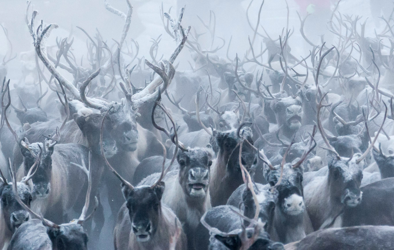 Reindeer are being selected for slaughter or breeding at the Kharp reindeer farm in the village of Krasnoye