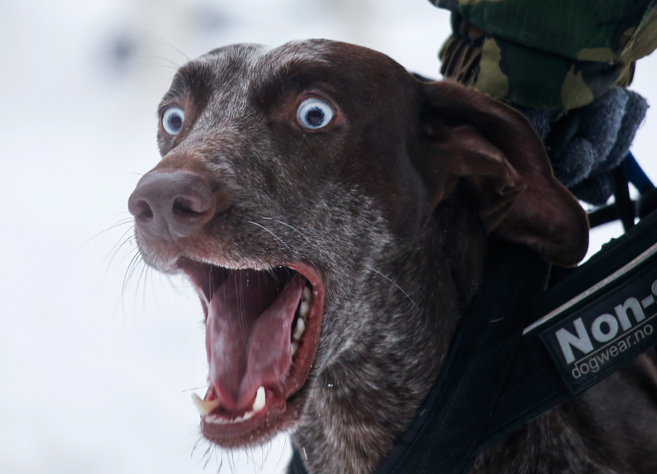 A dog barks before a sled and skijoring race in the village of Kadnikovo outside Yekaterinburg, Russia.