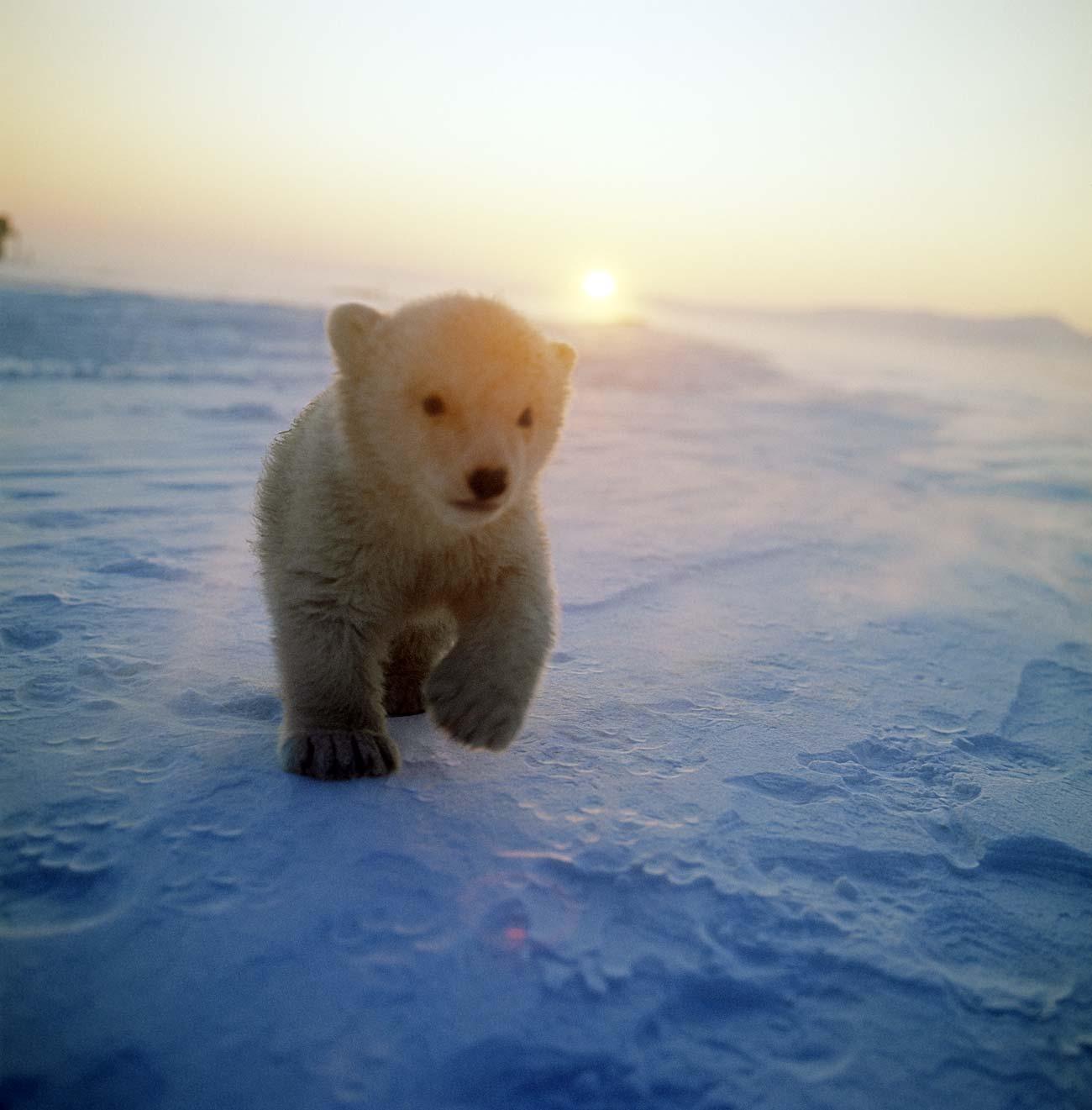 Filhote de urso polar na ilha de Wrangel