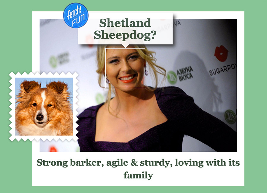 Maria Sharapova (Russian professional tennis player) as Shetland Sheepdog.