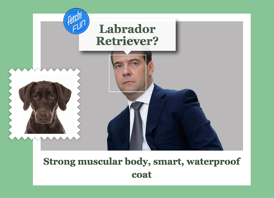 Dmitry Mededev (the tenth Prime Minister of Russia) as Labrador Retriever.