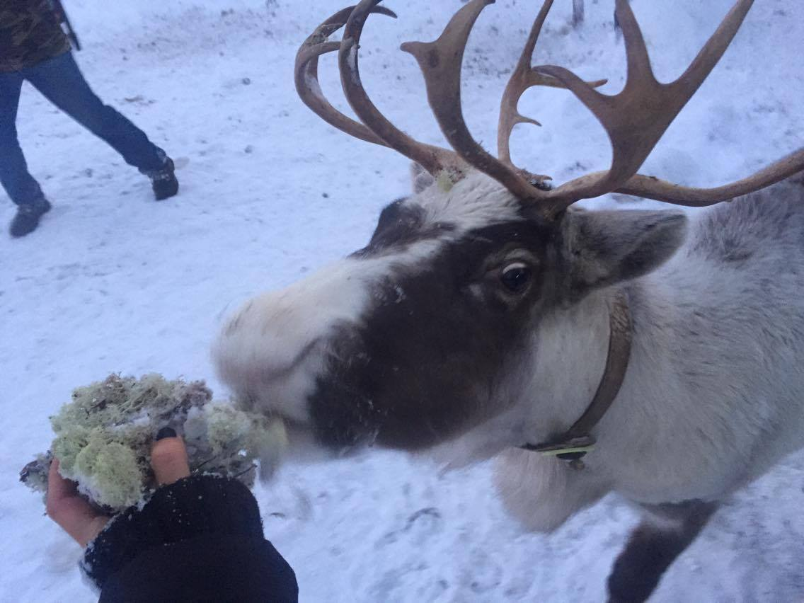 Reindeer are just like dogs - except a lot bigger and with antlers.