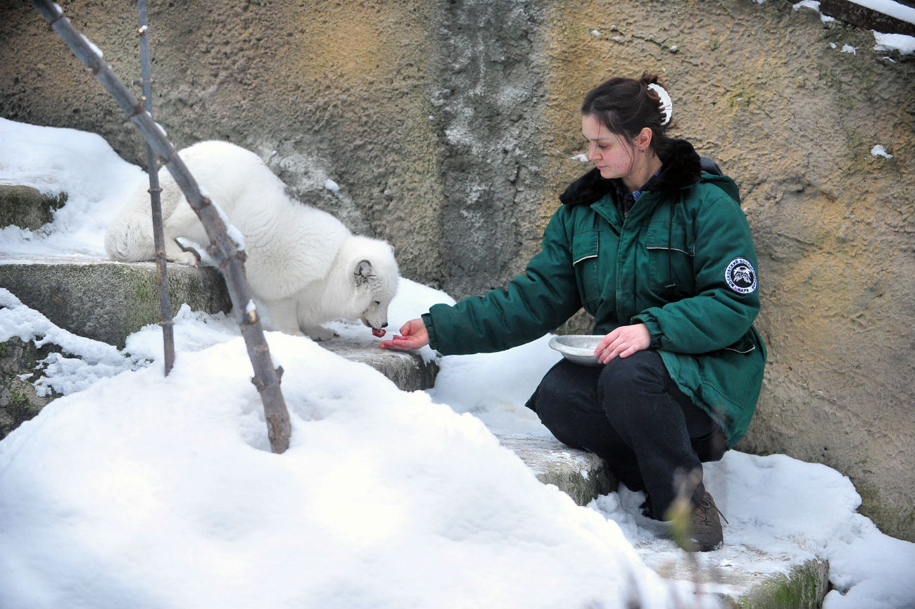 An arctic fox being fed by hand, Moscow Zoo, Jan. 4, 2017