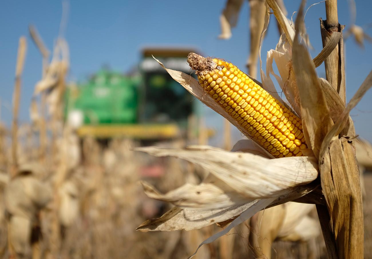 A combine machine harvests corn in a field near the village of Moskovskoye, outside Stavropol in southern Russia.