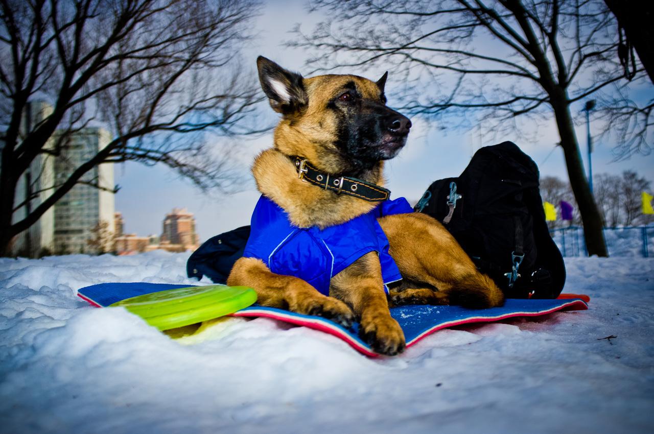 Il Disc Dog, conosciuto anche come Frisbee Dog, è una disciplina che coinvolge i cani e i loro padroni in varie performance con un frisbee