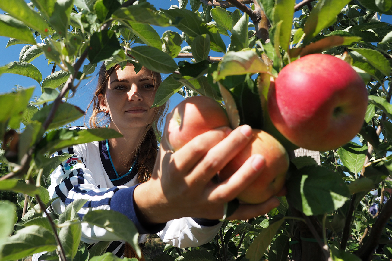 A worker harvests apples at Sady Predgorya farm , Novodmitrievskaya, Krasnodar Territory.