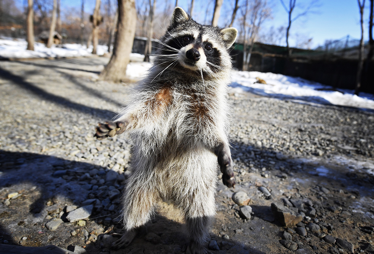 What's that you've brought me? A raccoon at Primorsky Safari Park in the village of Shkotovo.