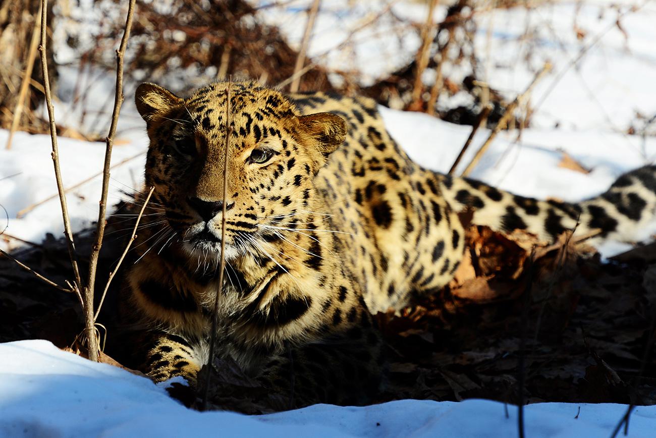 Pri Parku leopardov stoji šest metrov visok most, s katerega lahko gledate leoparde kot v naravi – naravnost pred očmi, brez rešetk. V parku je trenutno tudi primerek daljnevzhodnega leoparda. V bližnji prihodnosti naj bi se mu pridružila še samica. / Sam, čisto sam. Daljnevzhodni leopard Velikoros v Primorskem Safari-parku v vasi Škotovo. Jurij Smitjuk/TASS