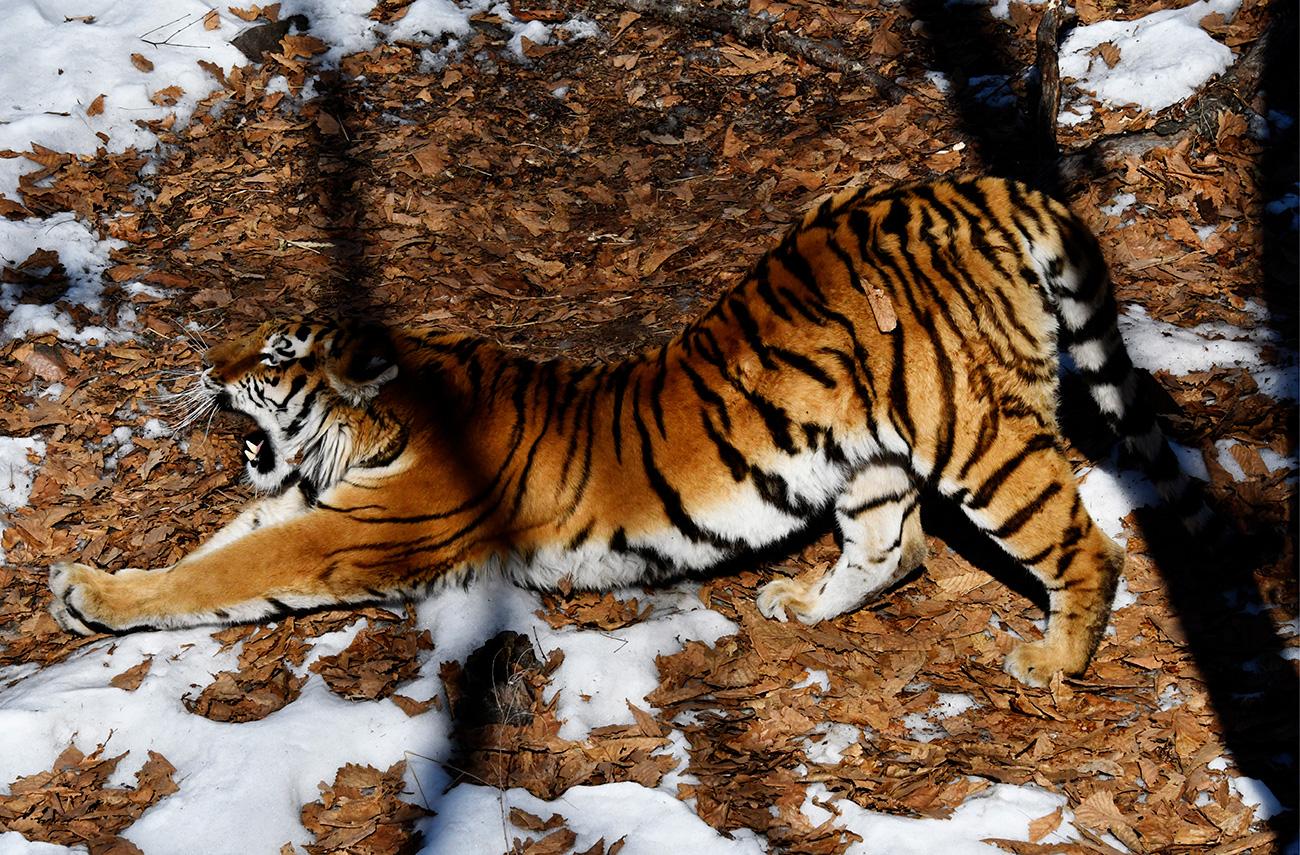 Mlado tigrico Ussuri, ki je prišla na svet 3. junija 2014 v moskovskem živalskem vrtu, so pripeljali v primorski park 17. oktobra 2015 kot »nevesto« za tigra Amirja. 18. septembra se je skotil mali tiger Šerhan./ Jutranja gimnastika. Amurska tigrica Ussuri v Primorskem Safari-parku. Jurij Smitjuk/TASS