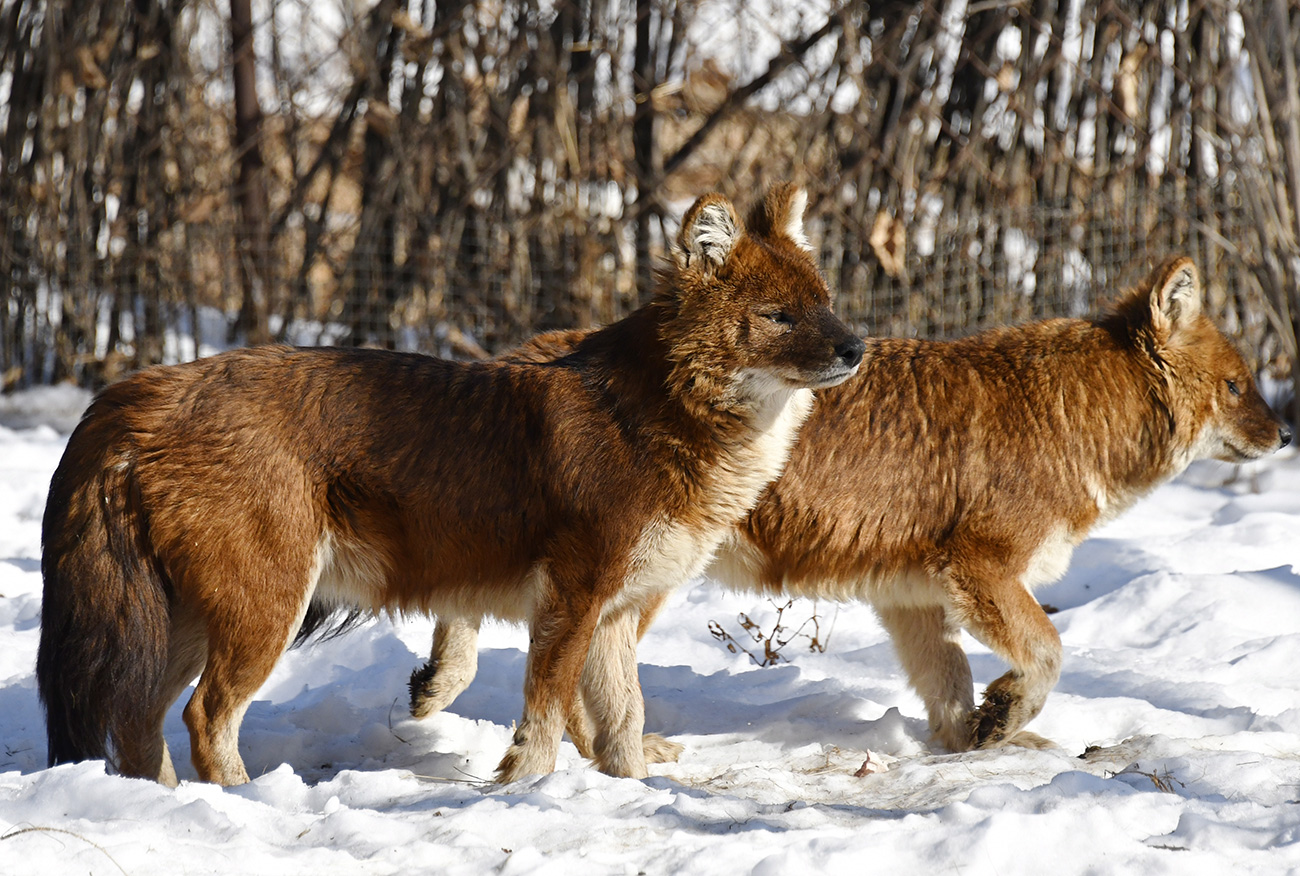 Rdeči volkovi so zelo redke živali, ki so nekoč kraljevale na Primorskem ozemlju, a so so danes skoraj izginili. Nazadnje so v tej regiji redko vrsto opazili leta 1973. Kipling je v pravljici Mavgli – deček iz džungle v podobi mogočnega plazu, ki je uničeval džunglo, upodobil ravno rdeče volkove. Tudi v resnici živijo rdeči volkovi v krdelih, vendar ne v tako velikih kot v pravljici. V Primorskem Safari-parku sedaj najdemo tri rdeče volkove./ Rdeči volkovi čakajo svojega Mavglija. Primorski Safari-Park. Jurij Smitjuk/TASS