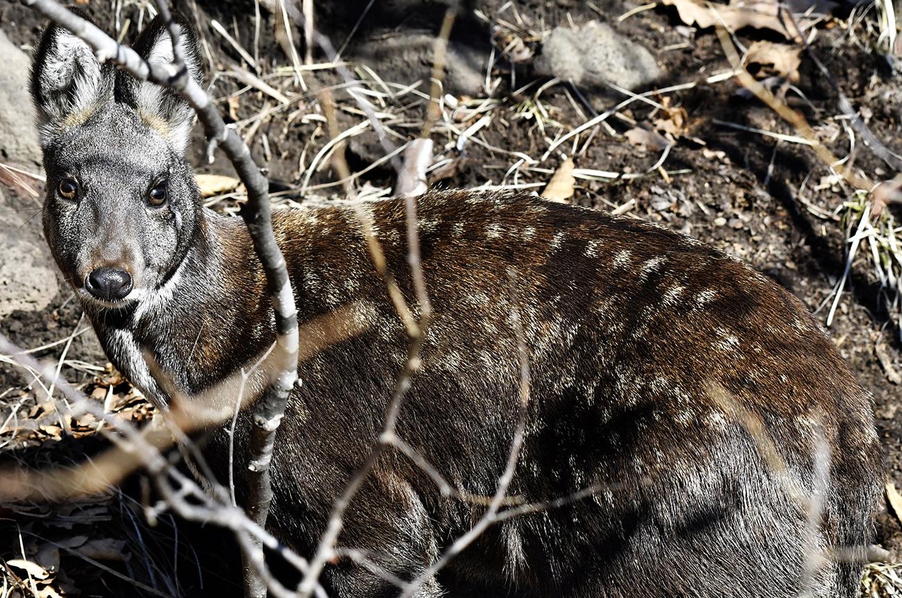 V parku med kopitarji živijo tudi vapiti, jeleni vrste sika, srne in merjasci. Mile živali same prihajajo do ljudi. Lahko jih nahranite iz roke, jih pobožate in se poleg njih fotografirate./ A me vidiš? Sibirski jelen v Primorskem Safari-parku. Jurij Smitjuk/TASS