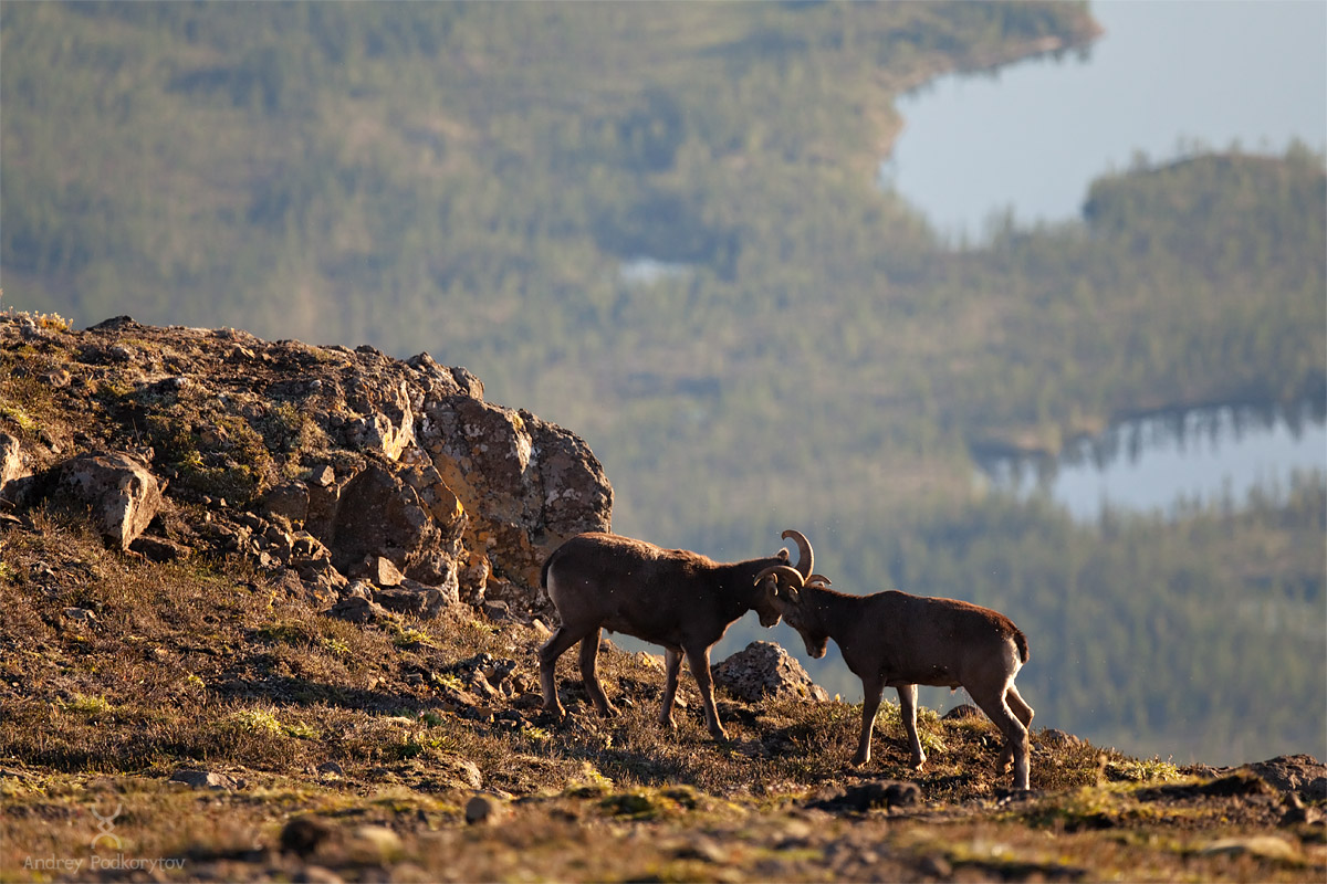 Ancient lava fields. Bighorn Sheep. Unparalleled beauty.  Mosquito tea. What's not to like?