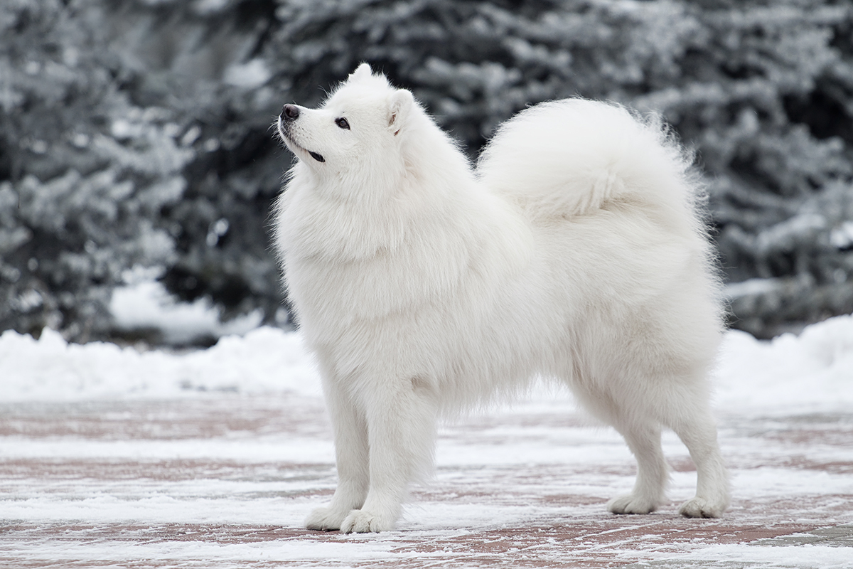 Samoyedo: soy fabuloso y lo sé. Fuente: Shutterstock