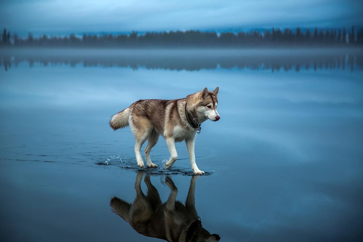 Un husky siberiano.
