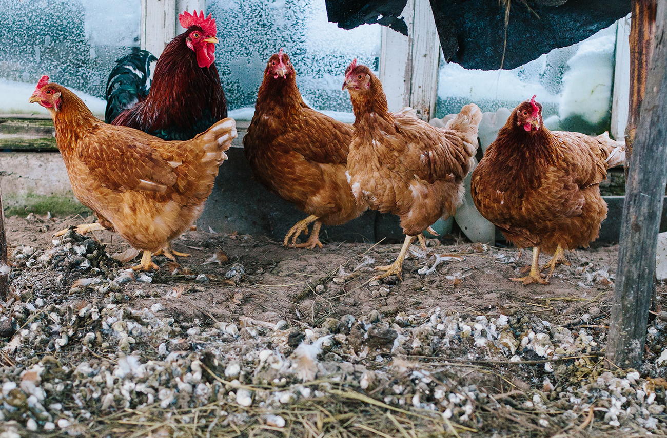 In Antiquity chickens appeared in Southeast Asia and then spread along the Mediterranean coasts, and in the 9th century people brought them to northern Europe.