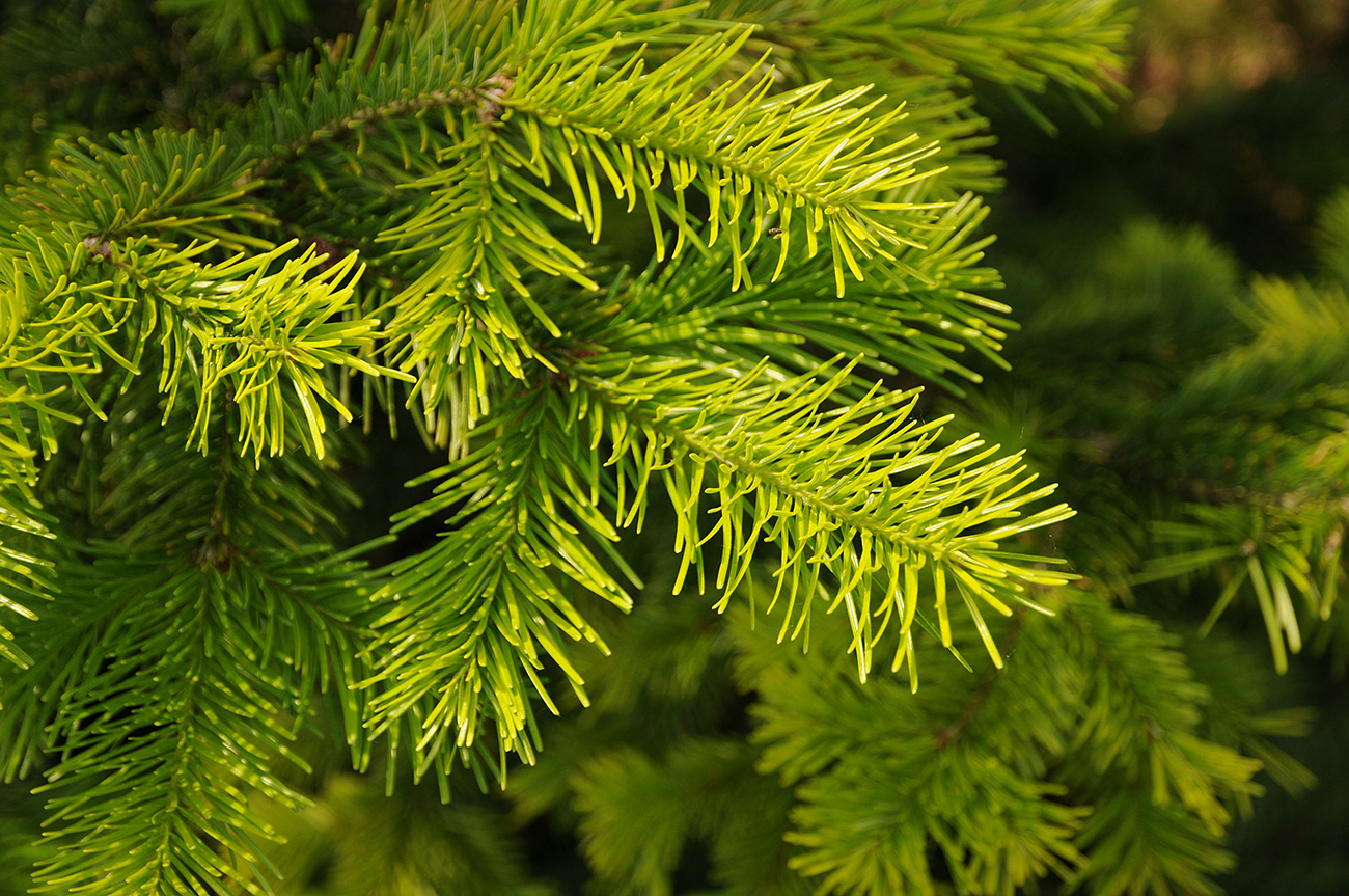 At Russia's Engelhardt Institute of Molecular Biology and the Moscow Physics-Technological Institute, scientists are looking at the effect of Siberian fir terpenoids on cancer and aging cells.