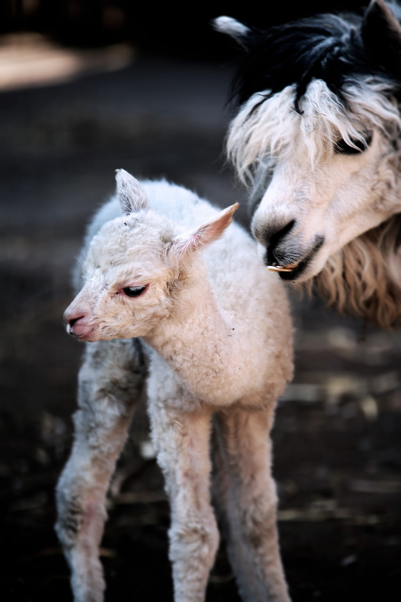 The baby alpaca was born on March 25.
