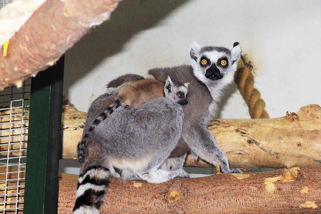 This ring-tailed lemur mother is eager to protect her baby. It will stay with her no longer than the five next months, after which young lemurs become independent. These animals live in groups of 20-30, and all other 15 lemurs in Moscow Zoo look with favor on the newborn cub. Curious and attentive, this lemur nestling is climbing over its father's and elder brother's back. Isn't that cute?