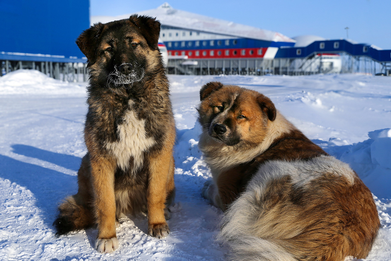 Dogs in the territory of Russia's Arctic Shamrock military base on Alexandra Land.