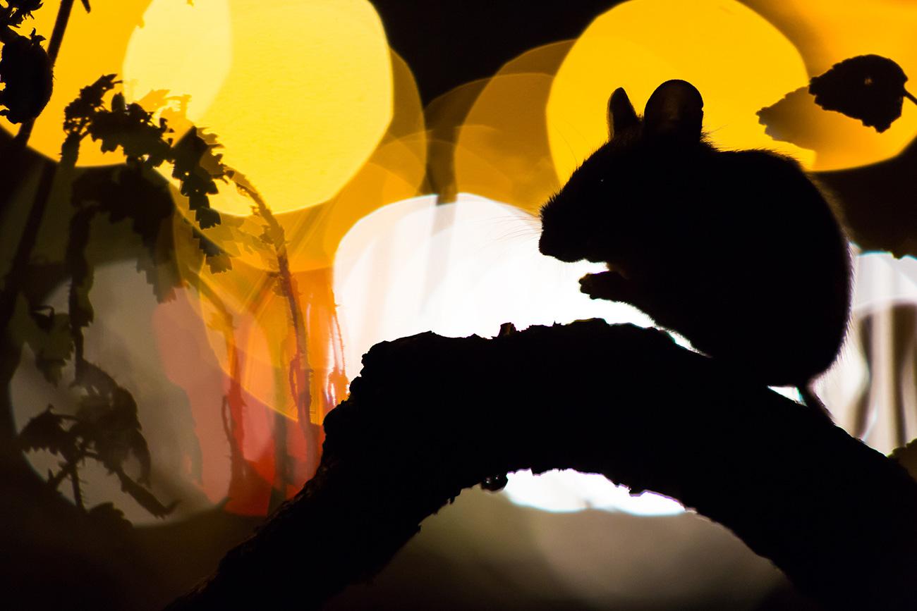 По изгледу је бајдабатир сличан савременим глодарима, али он није директан предак хрчка, пацова или миша.