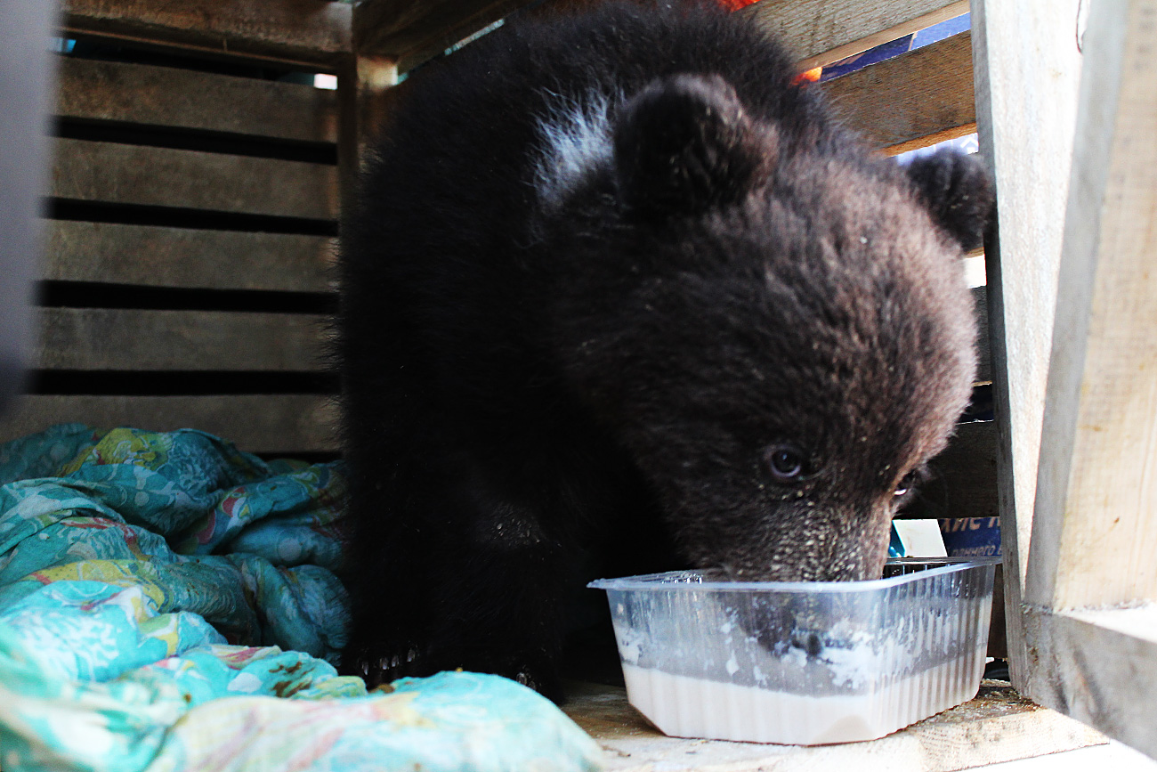 When Anna Arbatskaya learned of the plight of the bear cub she decided to help. She soon discovered she was the only volunteer.