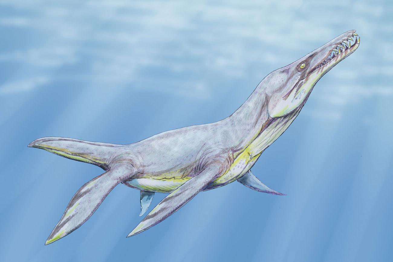 One of the types of pliosauroidea - Plesiopleurodon wellesi.
