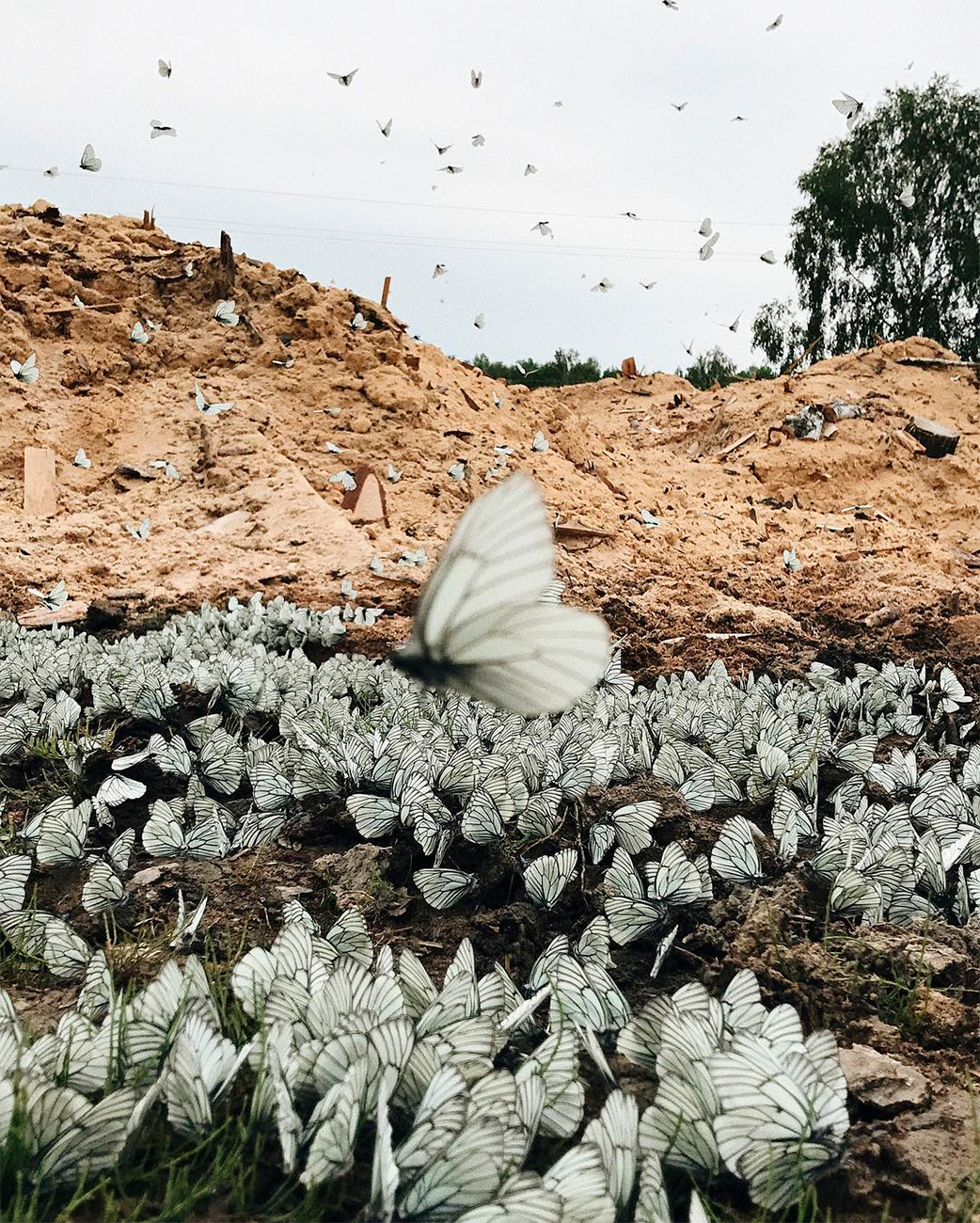 ロシア科学アカデミーのレフ・ヴァルタペトフ氏は、寒い春が6月初めに蝶のライフサイクルを短い、「集中型」にしたと考える。水たまりや小川に数千匹が集まるという。