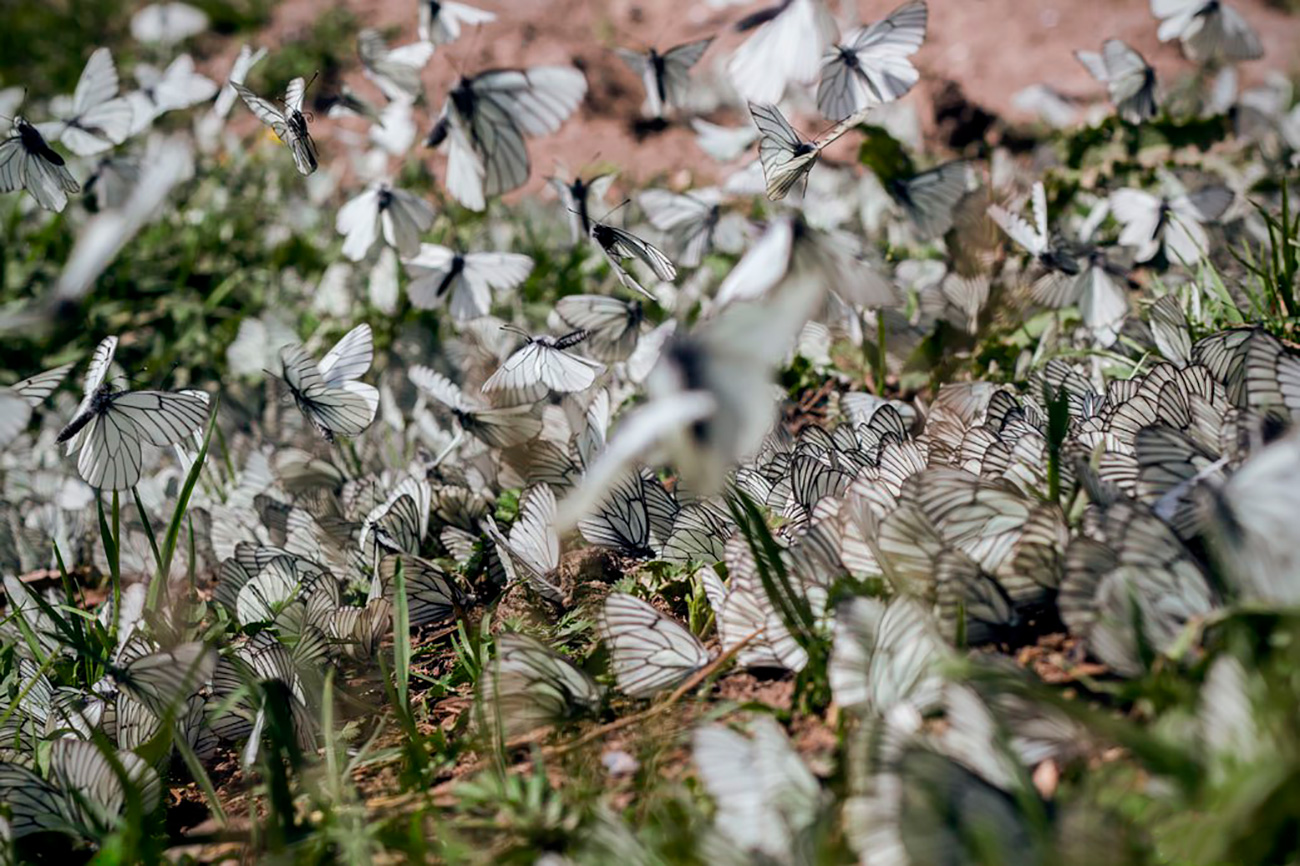 Thousand of butterflies have invaded several regions of Russian Siberia