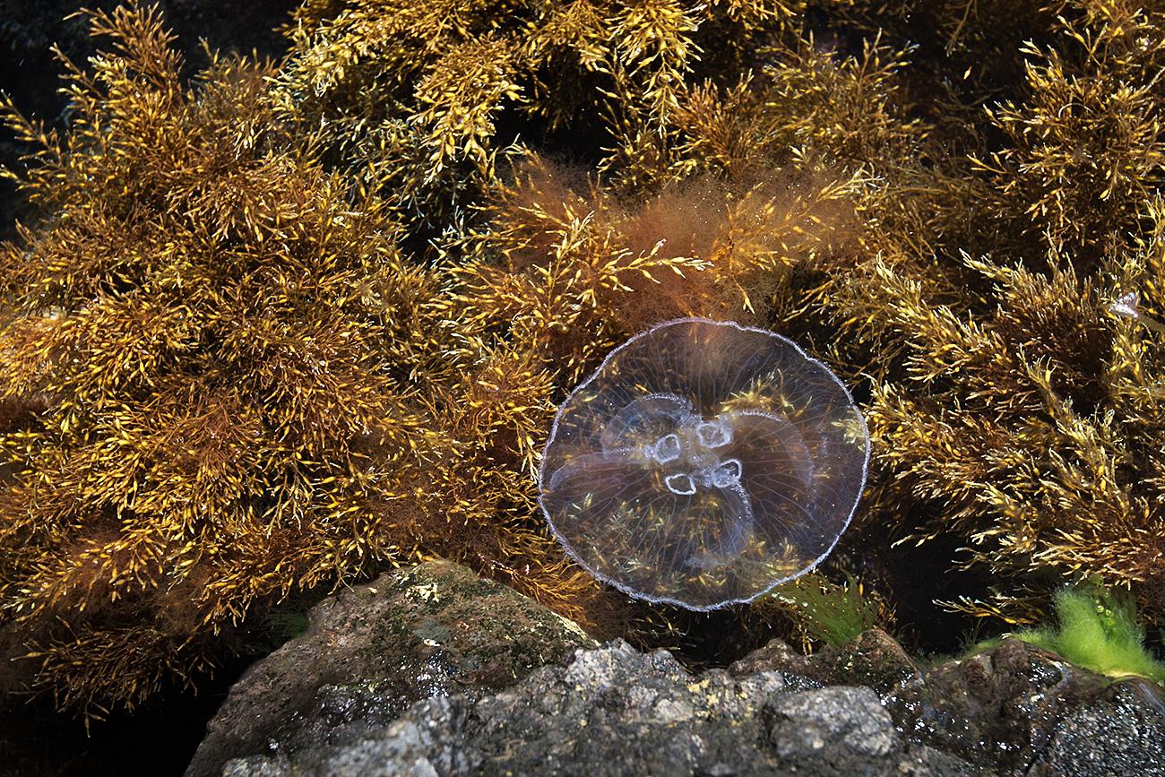 Una medusa nel Mar Nero, Riserva naturalistica di Kara Dag, Crimea. Fonte: Sergej Malgavko/RIA Novosti