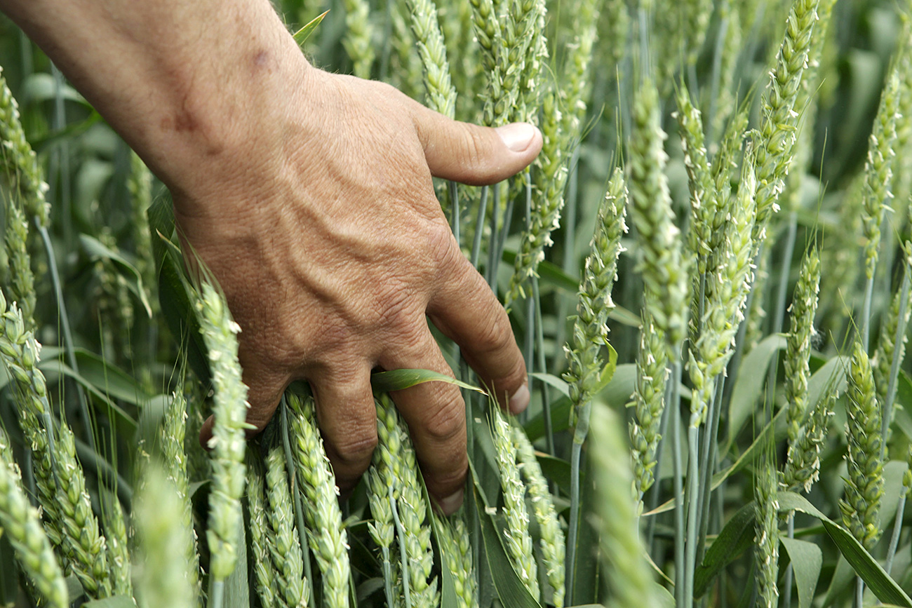 Man touches underripe wheat  field of the agricultural scientific-research institute of Mikhailovsk town in Stavropol region, southern Russia