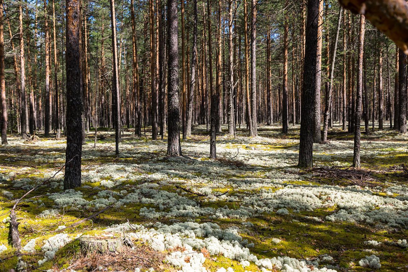 Il muschio bianco della taiga. Fonte: Oleg Vorobjov