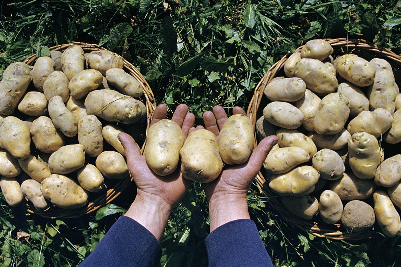 Em 1765, foi expedido um decreto ordenando o cultivo de batatas em jardins russos