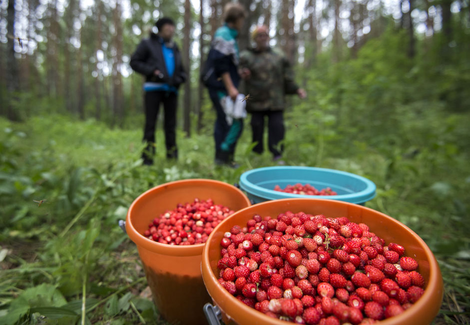 City residents pick wild strawberries in the Tarskoye Forestry, the Omsk region.